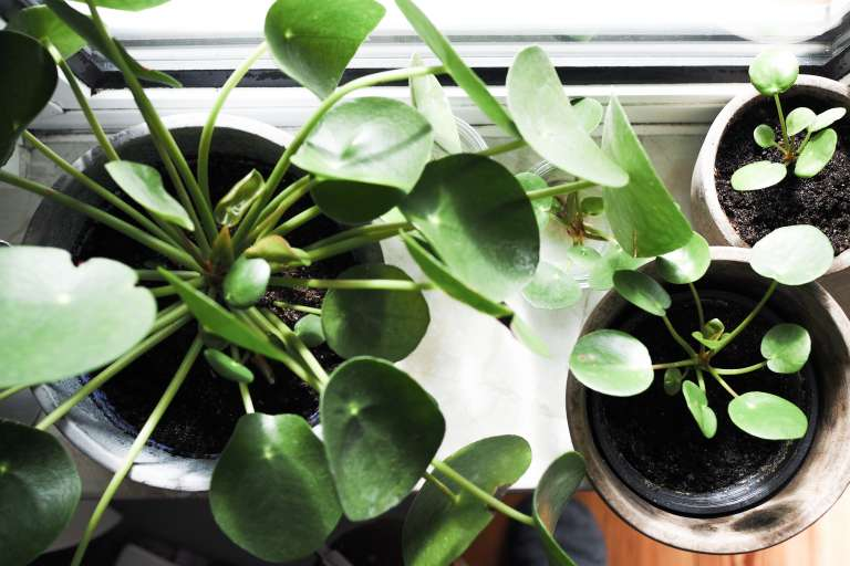 Pilea Vermehren New Beginnings Urban Jungle Bloggers Paulsvera 2 Von 23